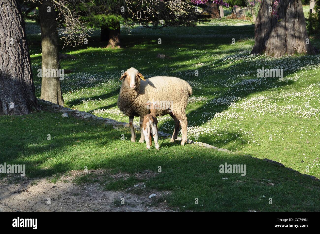 Ewe with his lamb - Stock Image