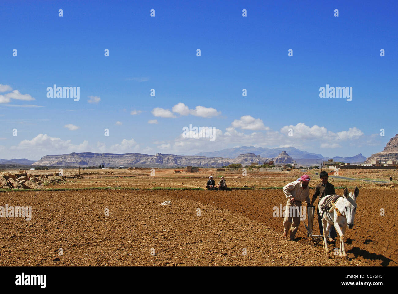 Yemen, Inland, famers with animal ploughing field on vast agricultural field on a sunny day - Stock Image