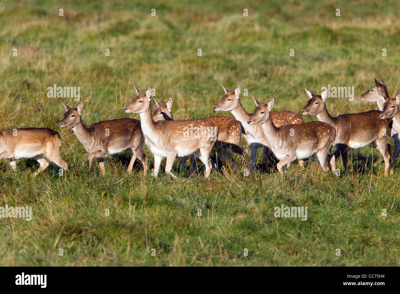 Fallow Deer (Dama dama), Herd of Hinds, Sjaelland, Denmark Stock Photo