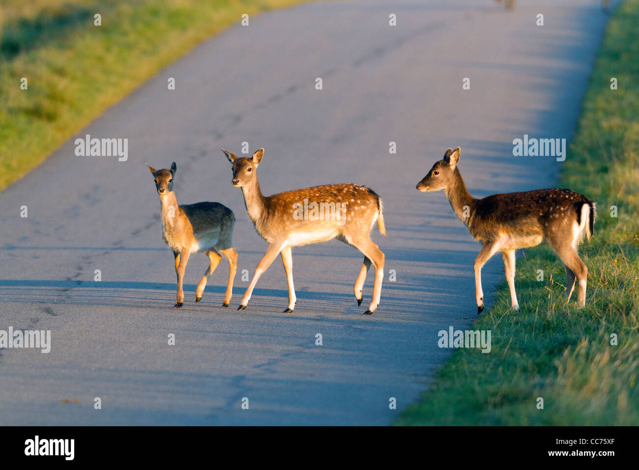Fallow Deer (Dama dama), Three Fawns Crossing Road, Sjaelland, Denmark - Stock Image
