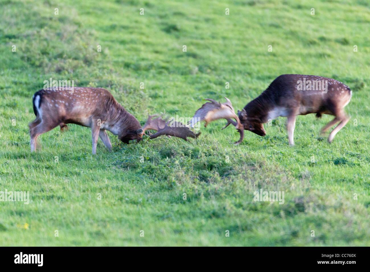 Fallow Deer (Dama dama), Two Bucks Fighting during the Rut, Royal Deer Park, Klampenborg, Copenhagen, Sjaelland, Stock Photo
