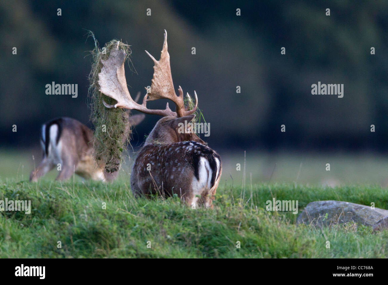 Fallow Deer (Dama dama), Buck Displaying with Grass on Antlers during Rut, Royal Deer Park, Klampenborg, Sjaelland, Stock Photo