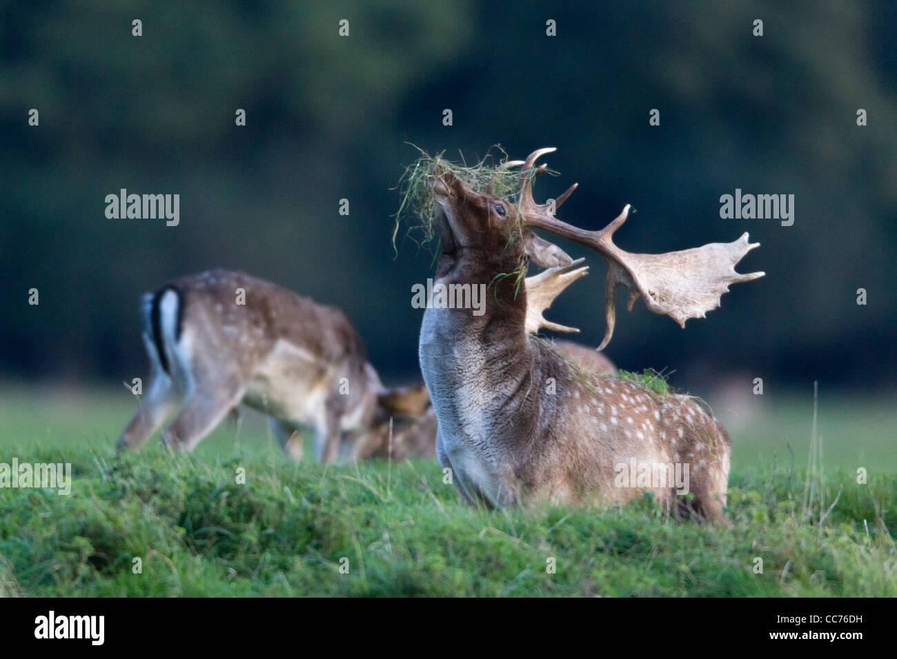 Fallow Deer (Dama dama), Buck Displaying with Grass on Antlers during Rut, Royal Deer Park, Klampenborg, Sjaelland, Stock Photo