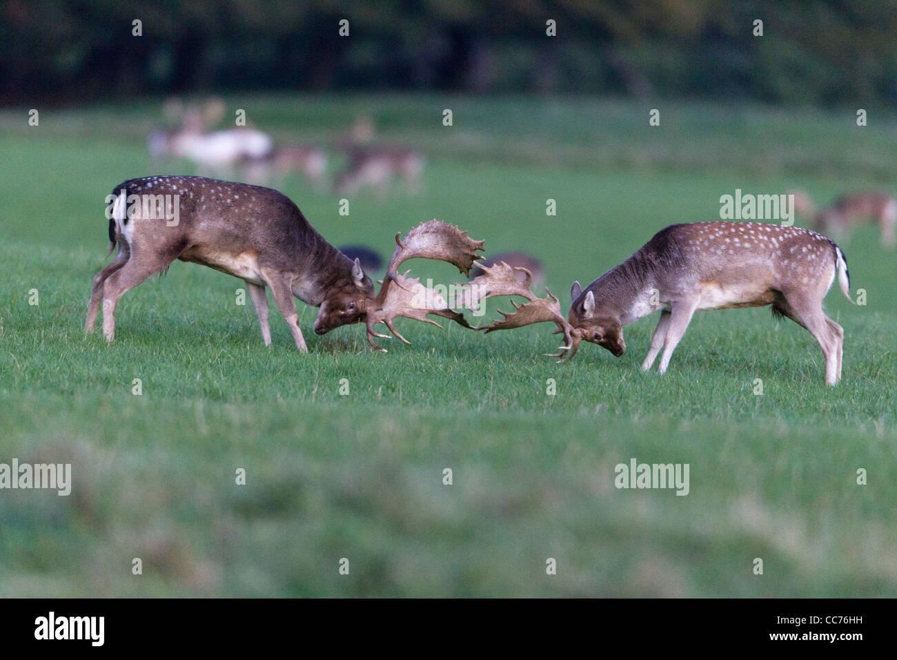 Fallow Deer (Dama dama), Two Bucks Fighting during the Rut, Royal Deer Park, Klampenborg, Copenhagen, Sjaelland, - Stock Image
