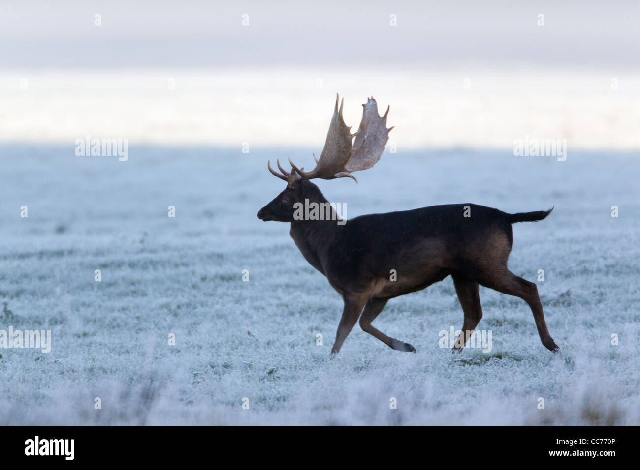 Fallow Deer (Dama dama), Black Buck Running, during the Rut, Royal Deer Park, Klampenborg, Copenhagen, Sjaelland, Stock Photo