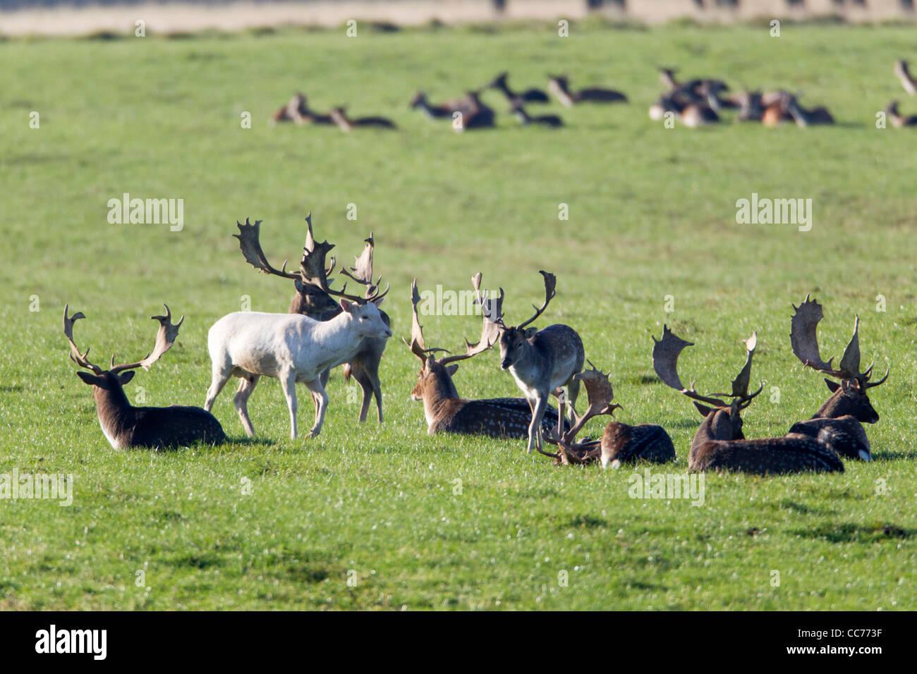 Fallow Deer (Dama dama), a herd of Bucks Resting, Royal Deer Park, Klampenborg, Copenhagen, Sjaelland, Denmark - Stock Image
