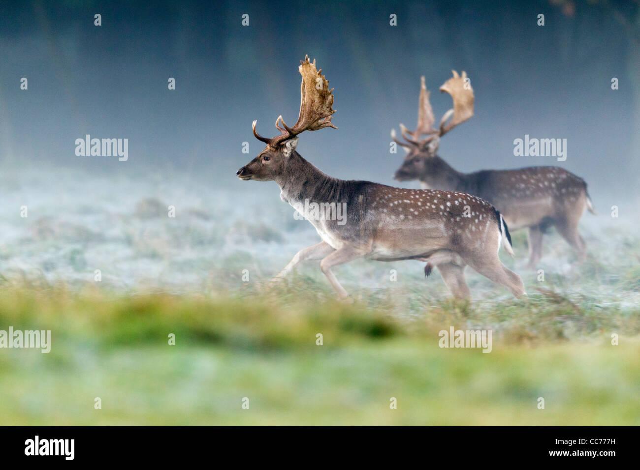 Fallow Deer (Dama dama), Buck Running, during the Rut, Royal Deer Park, Klampenborg, Copenhagen, Sjaelland, Denmark Stock Photo