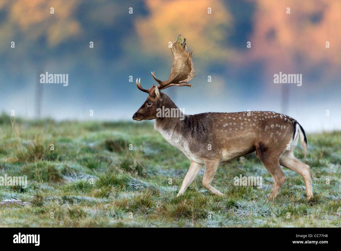 Fallow Deer (Dama dama), Buck during the Rut, Royal Deer Park, Klampenborg, Copenhagen, Sjaelland, Denmark Stock Photo