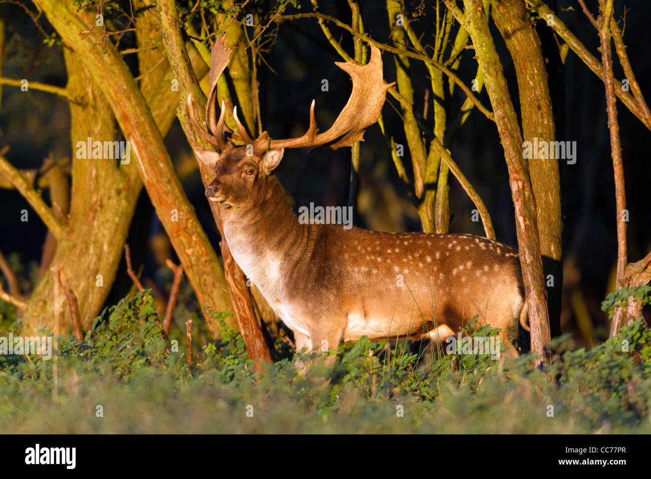 Fallow Deer (Dama dama), Buck at wood edge during rut, Royal Deer Park, Klampenborg, Copenhagen, Sjaelland, Denmark - Stock Image