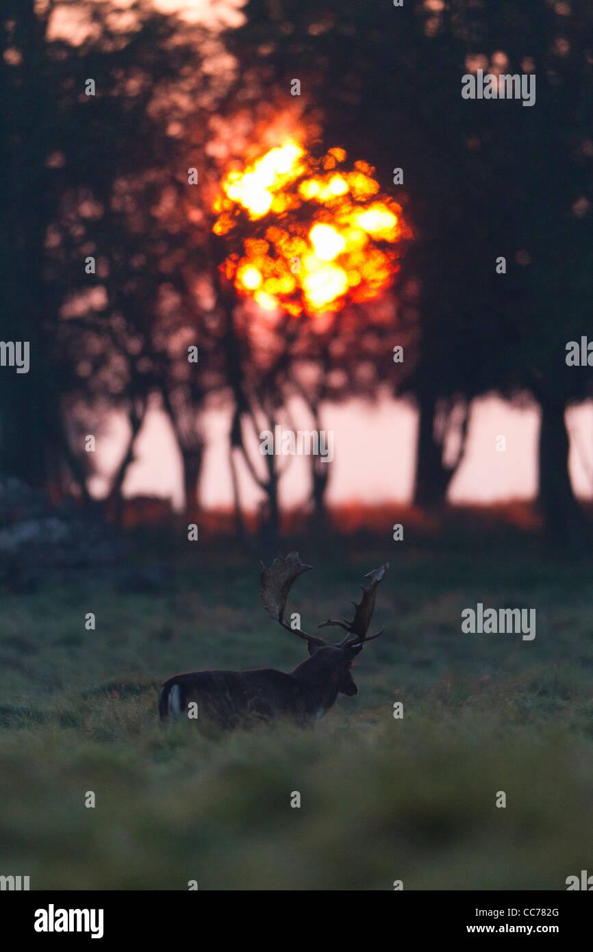 Fallow Deer (Dama dama), Buck Walking through Meadow at Sunrise, Royal Deer Park, Klampenborg, Copenhagen, Sjaelland, - Stock Image