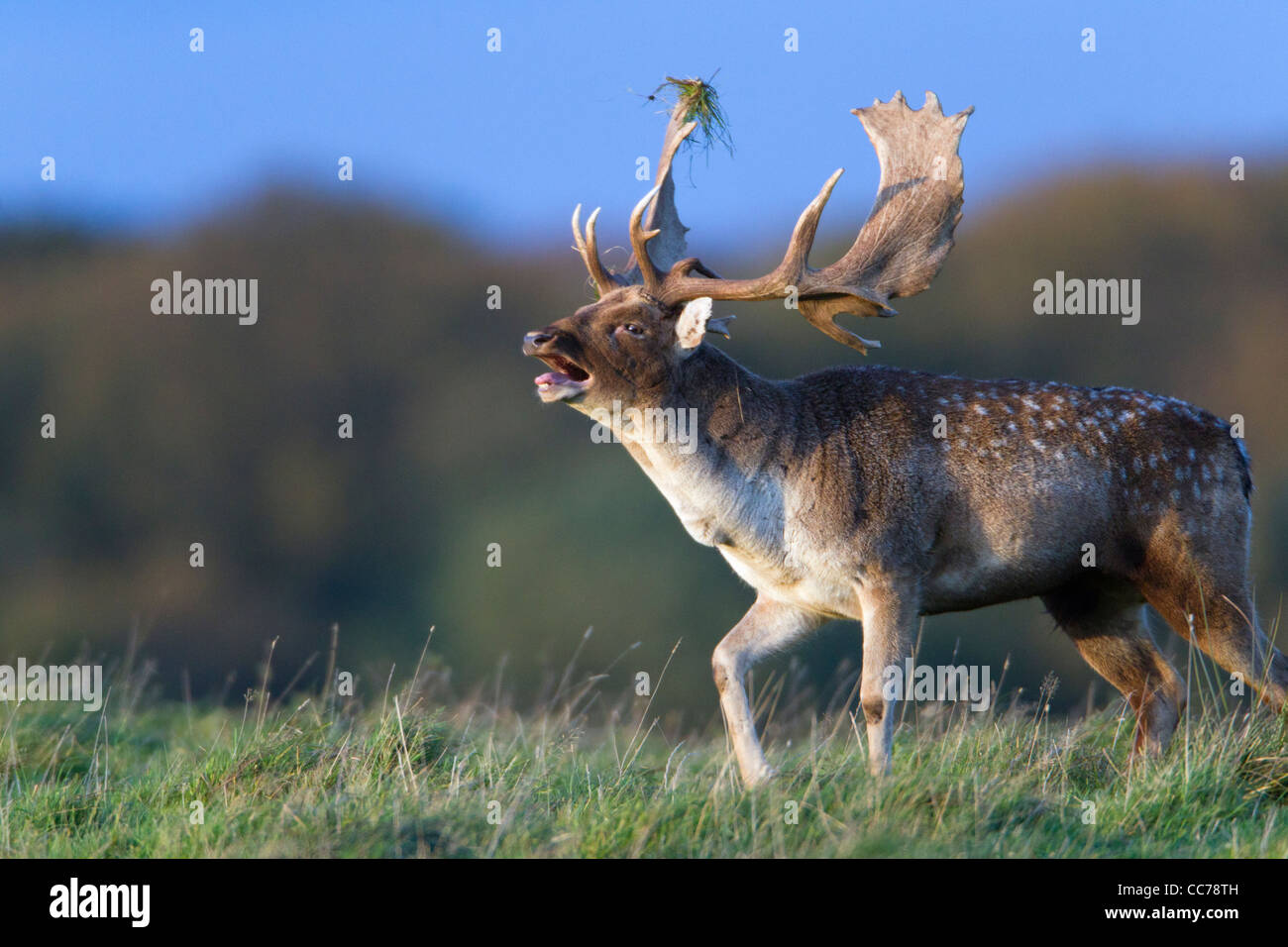 Fallow Deer (Dama dama), Buck Roaring during the Rut, Royal Deer Park, Klampenborg, Copenhagen, Sjaelland, Denmark - Stock Image