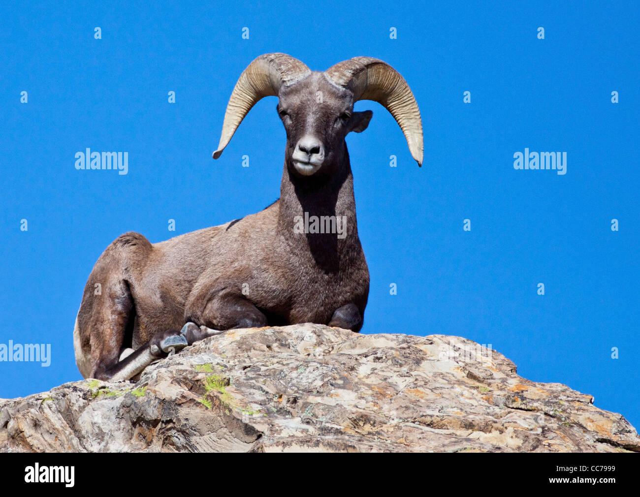 Rocky Mountain Big Horn sheep - Stock Image