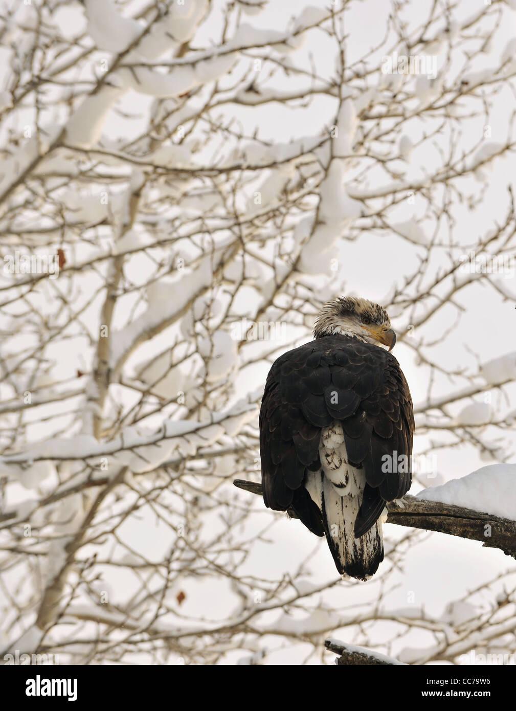 Portrait of an eagle of a dead tree sitting on a branch. Haliaeetus leucocephalus washingtoniensis. - Stock Image