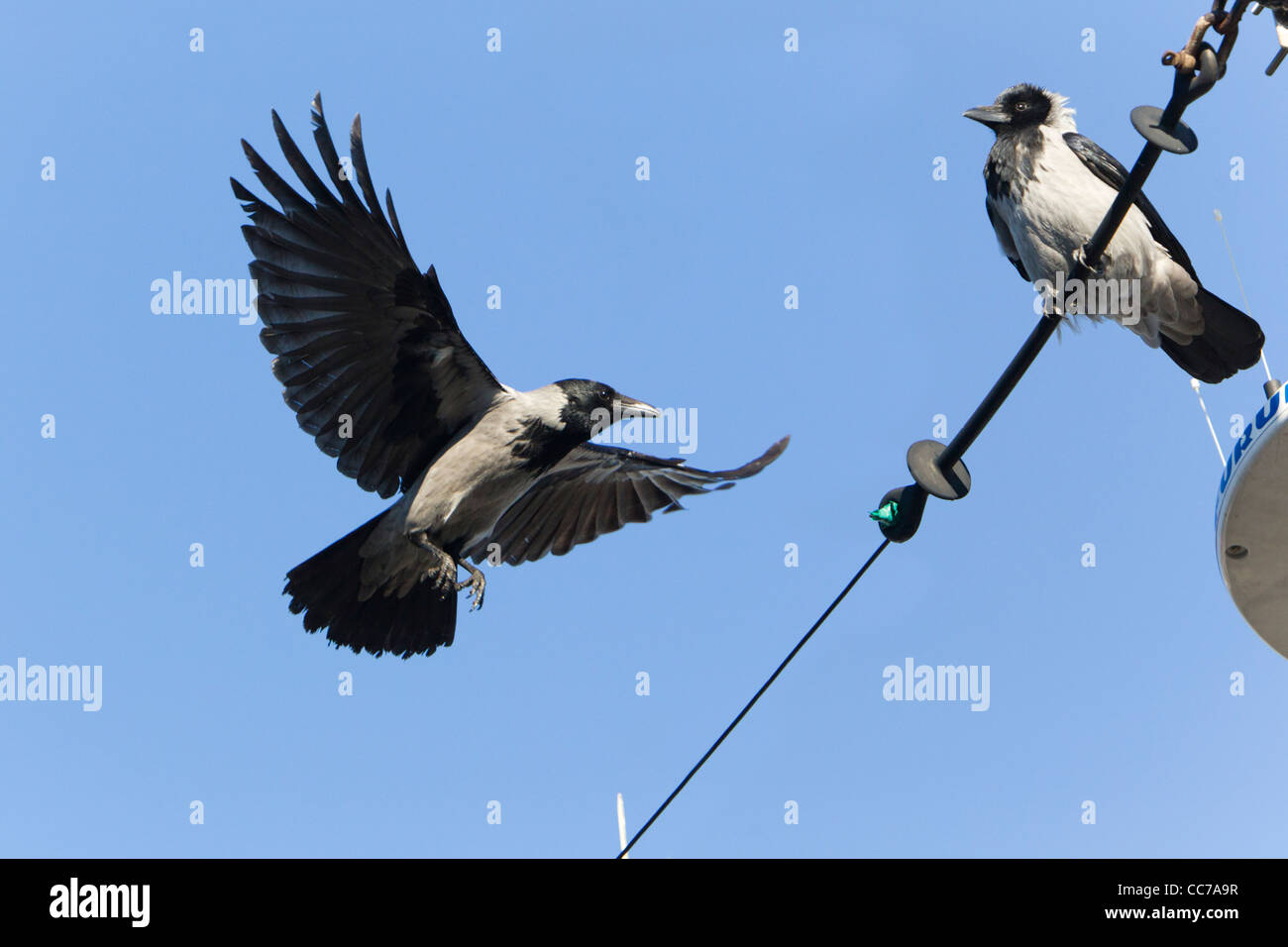 Hooded Crow (Corvus corone cornix), one Landing and the other Perched on Boat Rigging, Sjaelland, Gillelje Harbour, Stock Photo