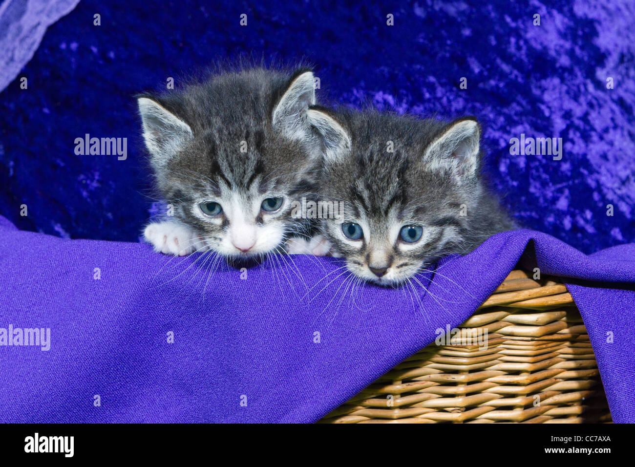 Domestic Cat, Two Kitten Peering out of Basket, Lower Saxony, Germany Stock Photo