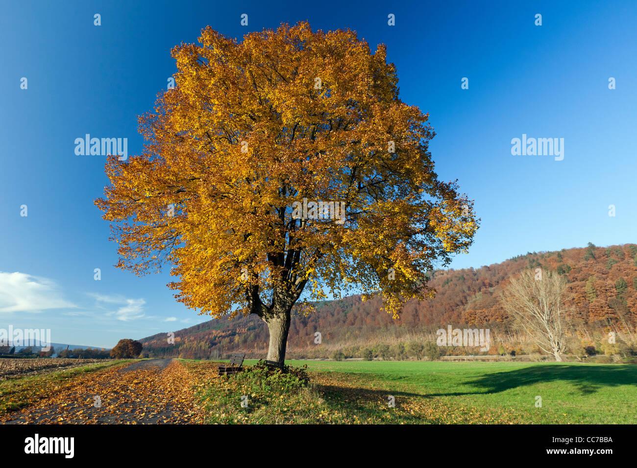 Common Lime Tree (Tilia europaea), in Autumn Colour, Hessen, Germany Stock Photo