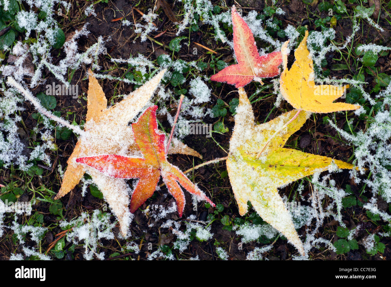 Sweet Gum Tree (Liquidambar styraciflua), Fallen Leaves on Ground in Autumn, Covered in Frost, Lower Saxony, Germany - Stock Image