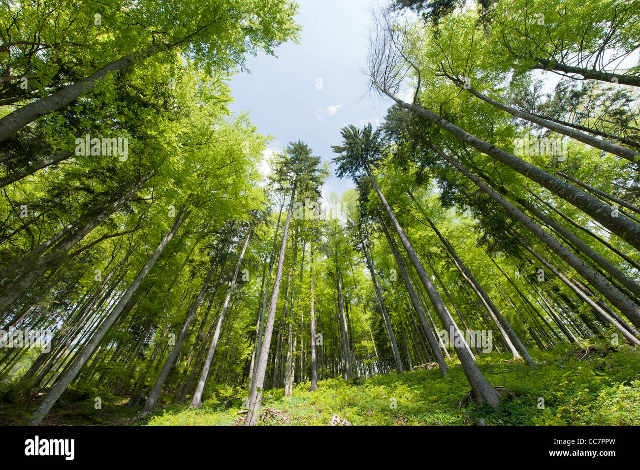 green forest in spring looking upwards with a wide angle - Stock Image