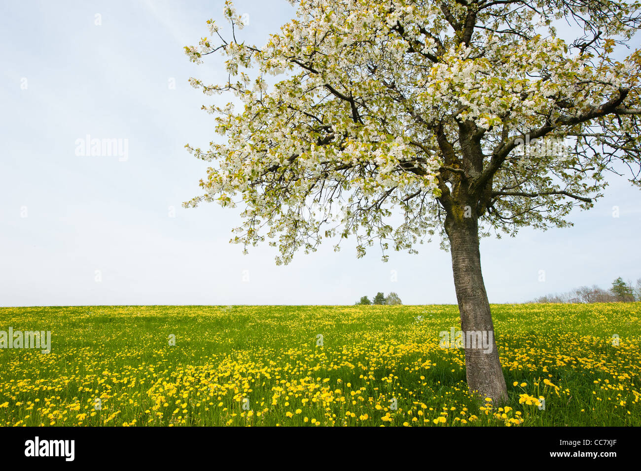 tree in spring on rural field with overcast sky - Stock Image