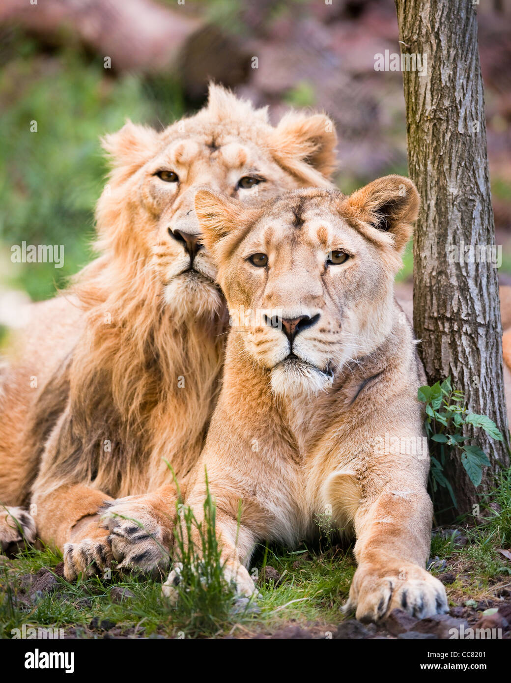 lion coulpe resting near a tree - Stock Image