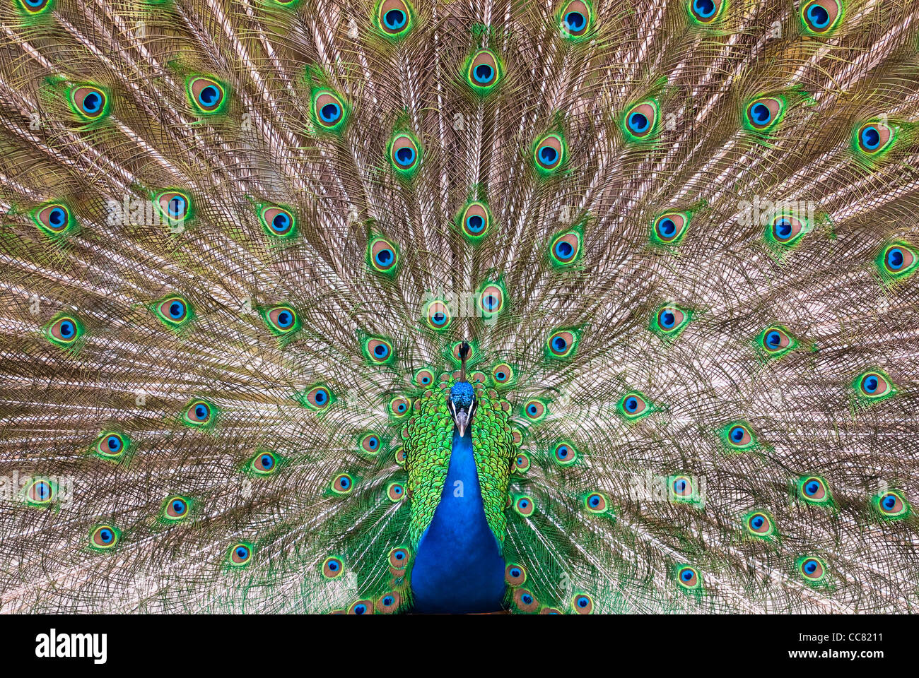 central view of a male Indian Peafowl's (lat. Pavo cristatus) plumage Stock Photo