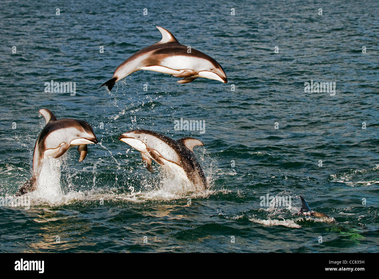 Pacific White-sided Dolphins (Lagenorhynchus obliquidens / longidens / ognevi) jumping in the North Pacific Ocean, - Stock Image