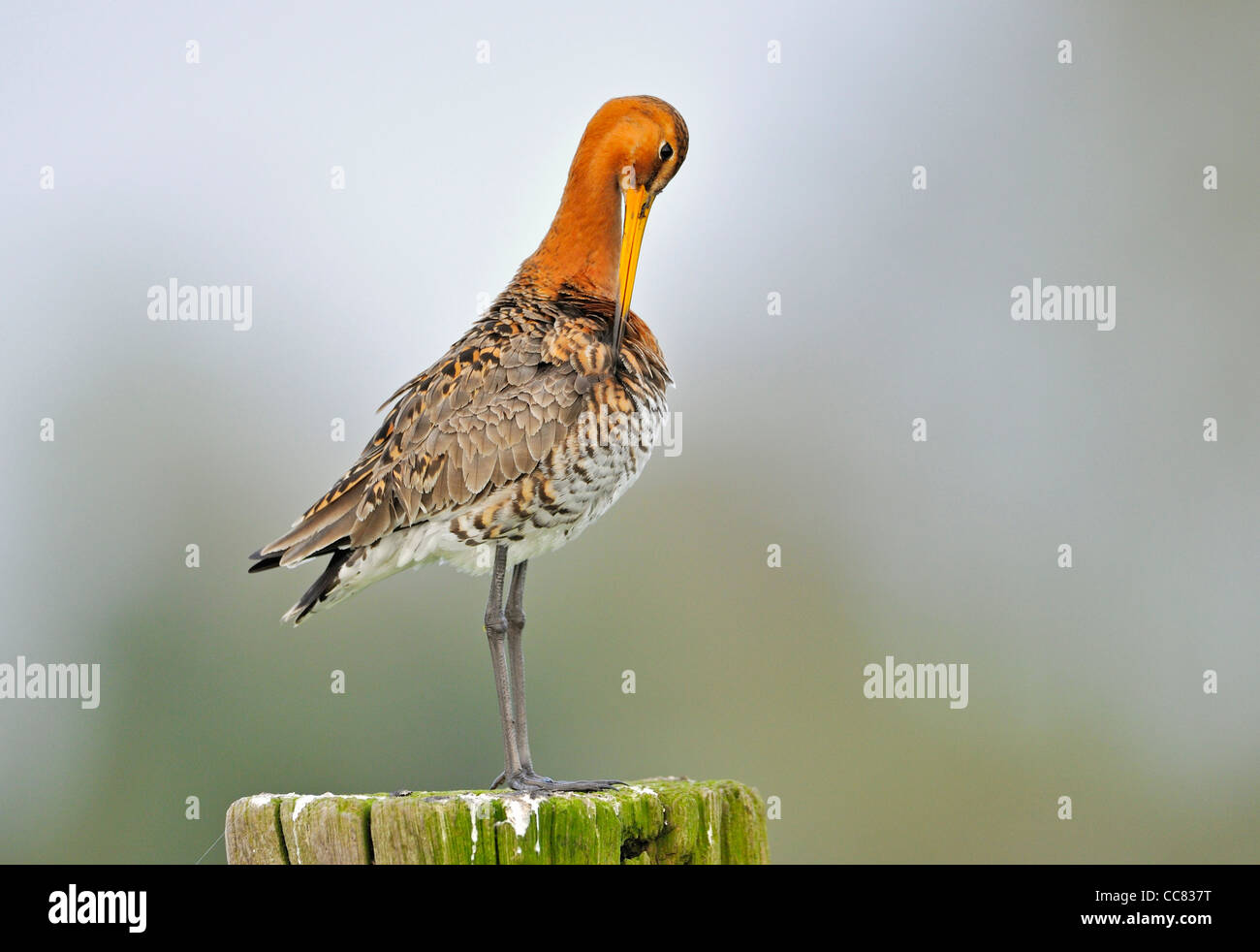 Black-tailed godwit (Limosa limosa) perched on fence post in meadow preening its feathers - Stock Image