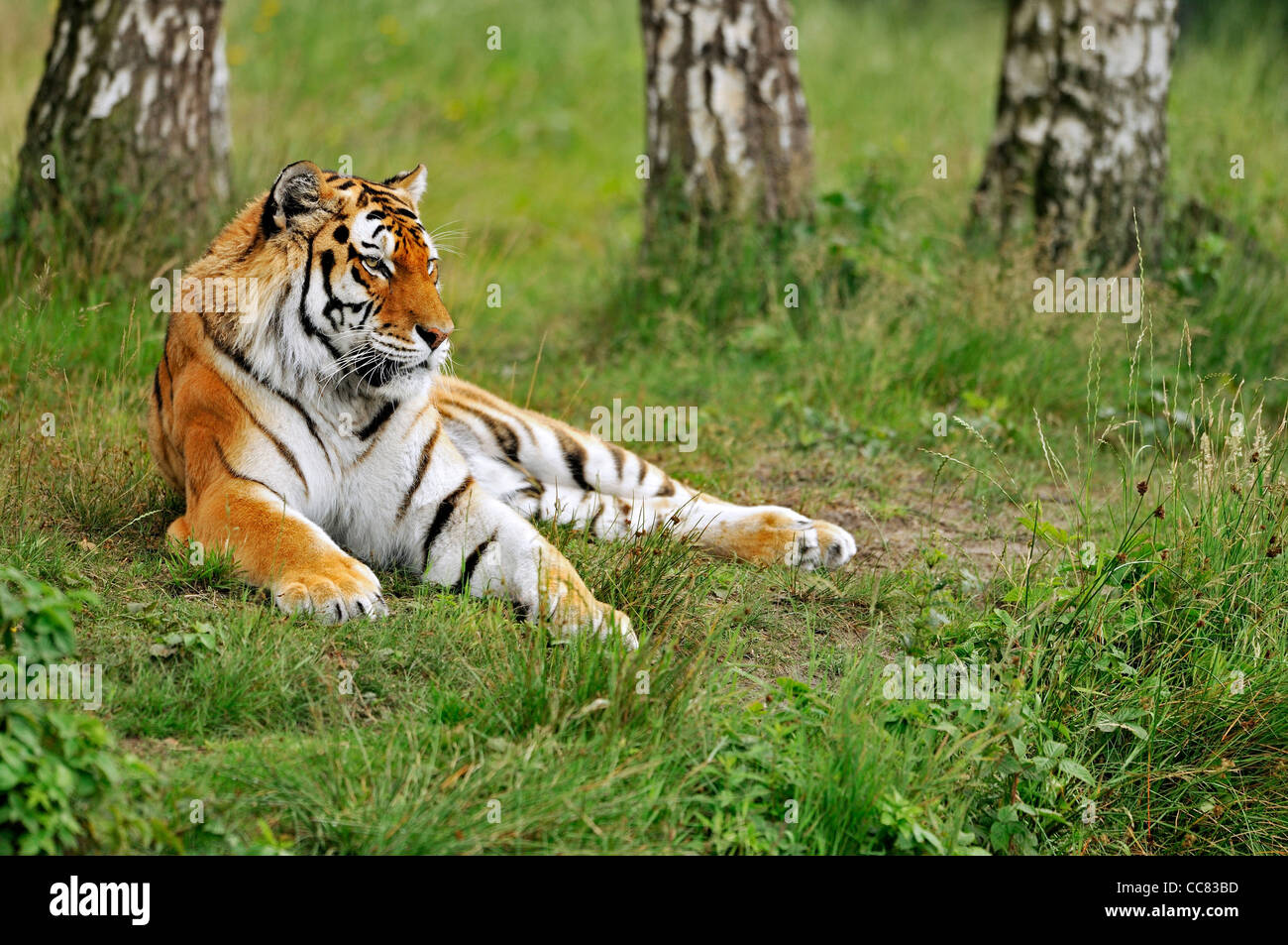 Siberian tiger / Amur tiger (Panthera tigris altaica) lying among trees, native to Russia and China - Stock Image