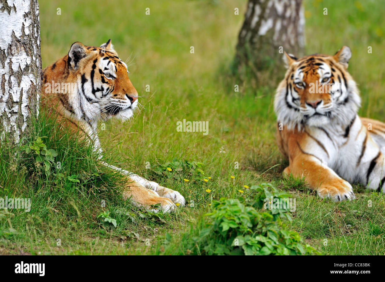 Two Siberian tigers / Amur tigers (Panthera tigris altaica) resting among trees, native to Russia and China - Stock Image
