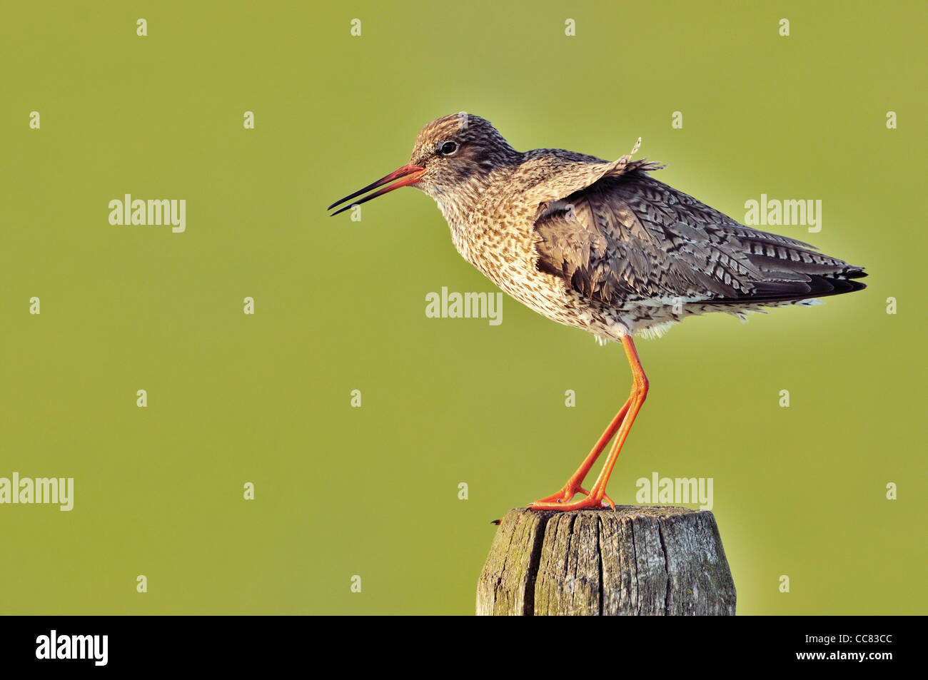 Common Redshank (Tringa totanus) perched on fence post in meadow - Stock Image