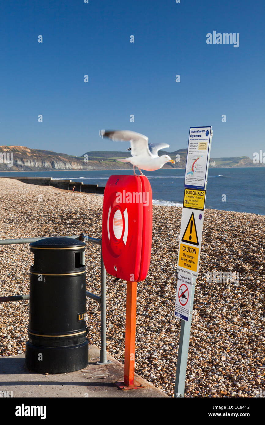 A herring gull leaves its perch on beach safety equipment in Lyme Regis on a winter morning, Dorset, England, UK - Stock Image
