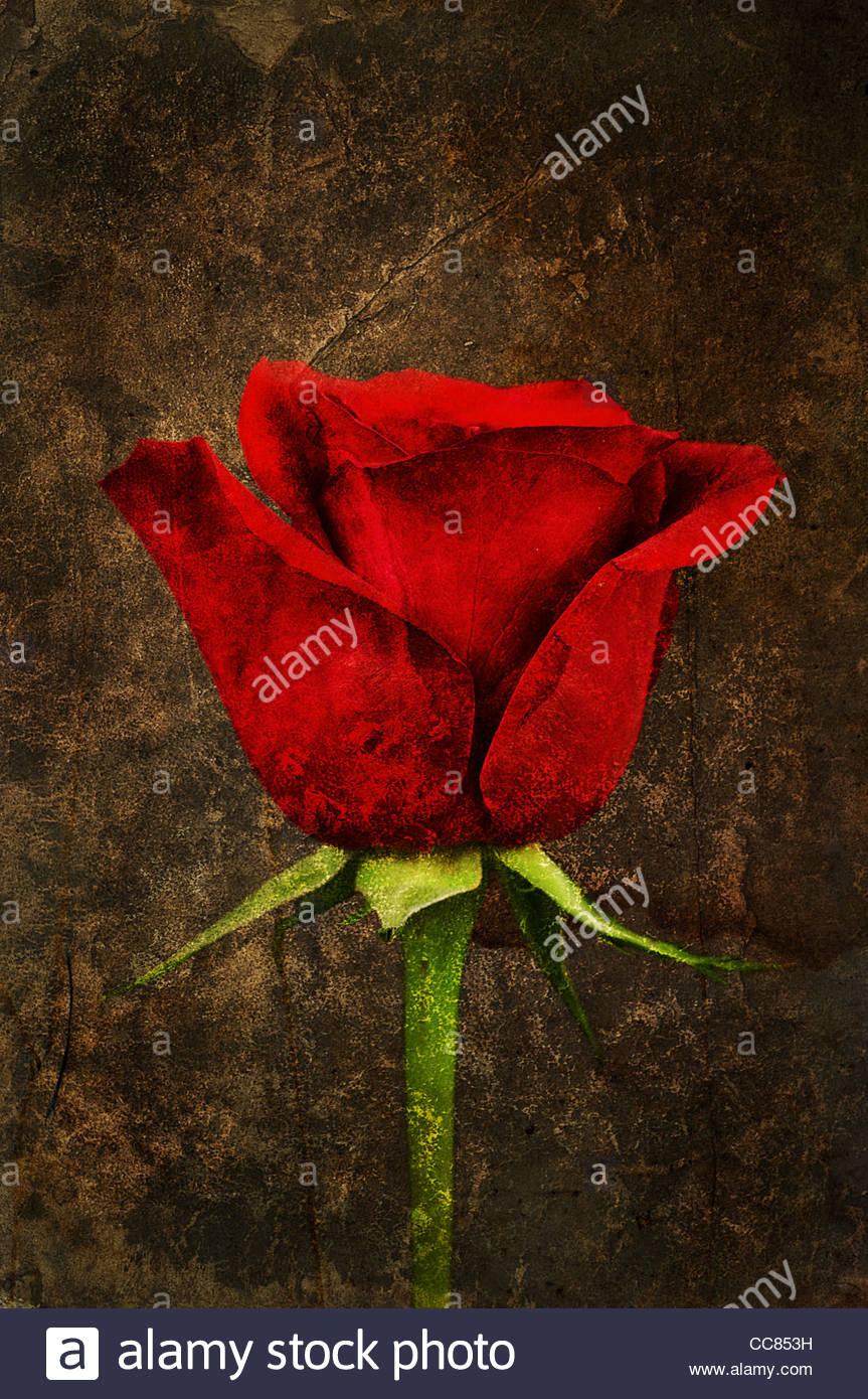 red rose print - Stock Image