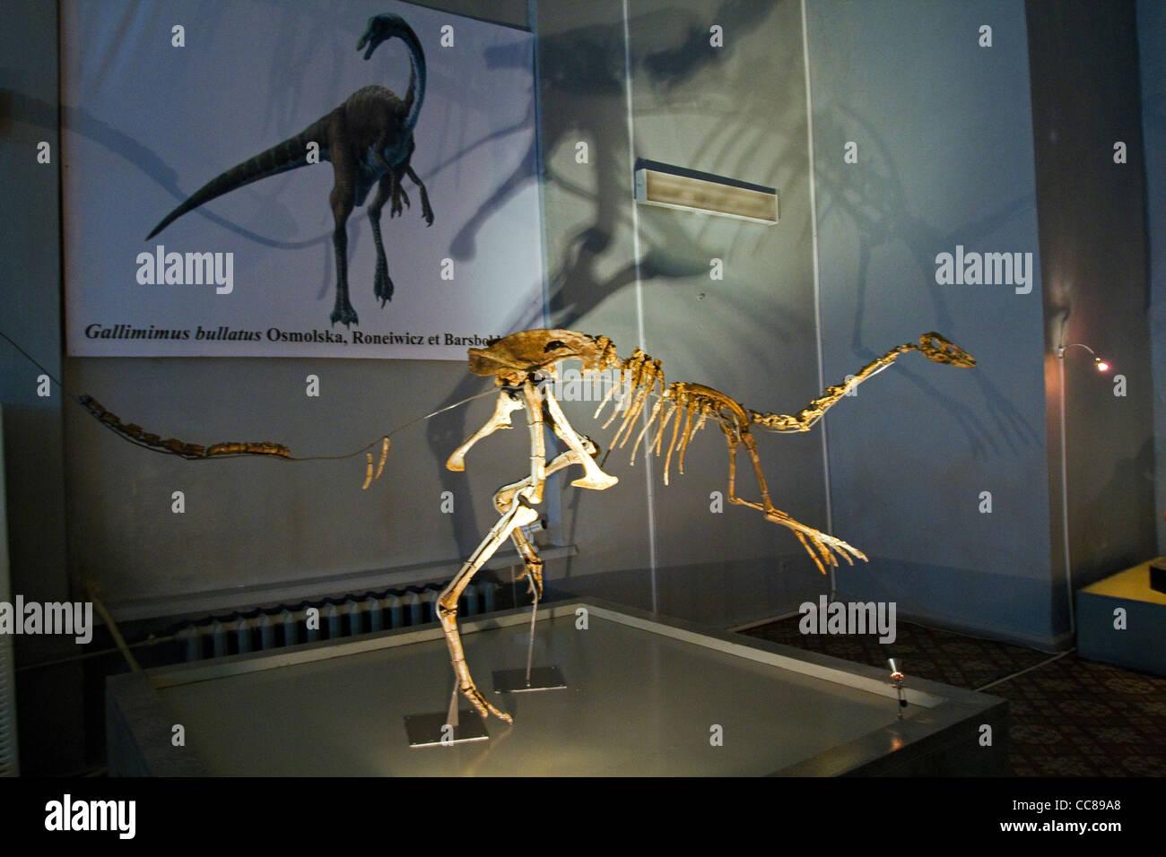 Dinosaur fossil in Natural History Museum Ulaanbaator Mongolia Stock Photo