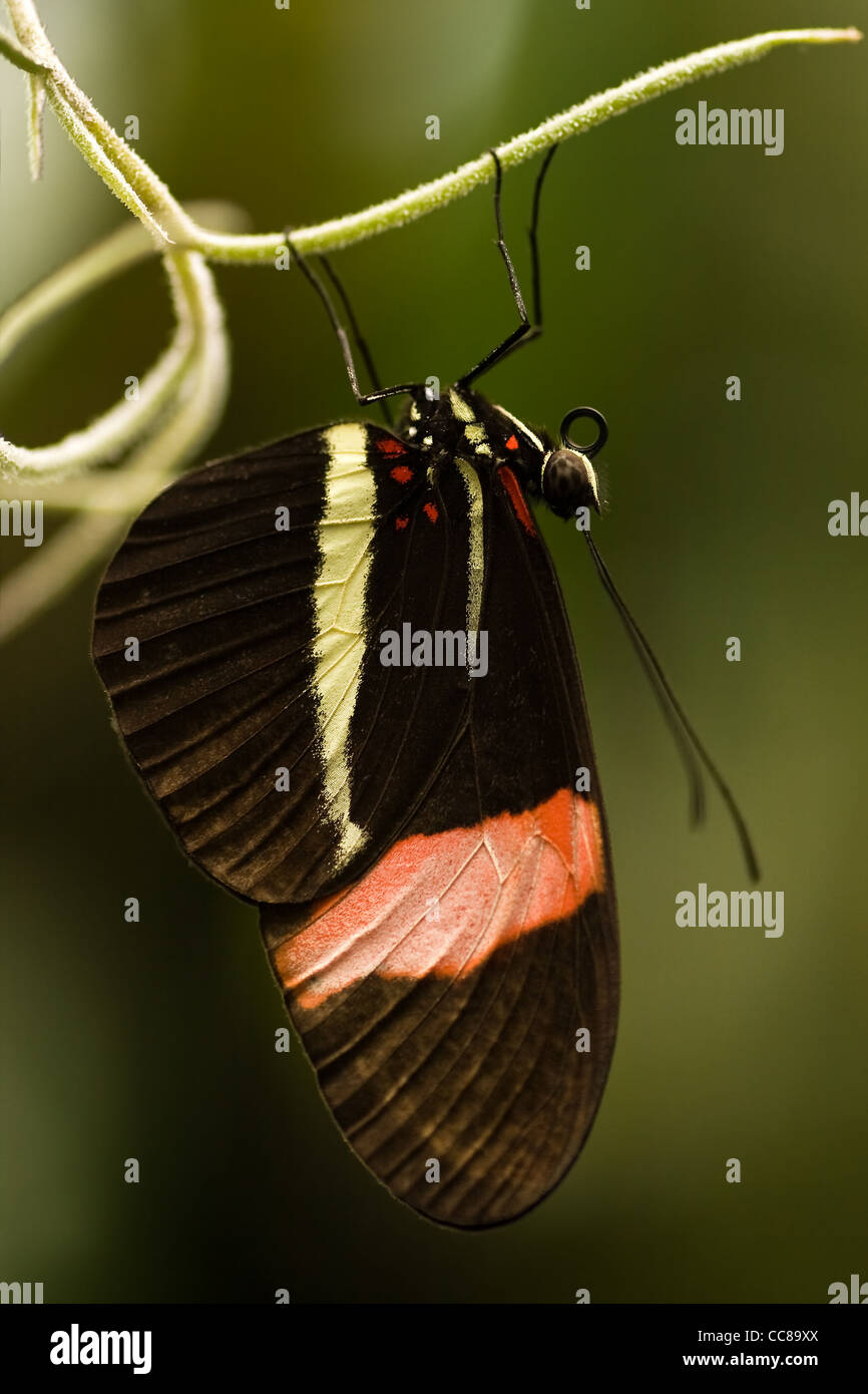 """Butterfly """"The Postman"""" or Heliconius Melpomene Amaryllis hanging on Spanish moss and resting for the night Stock Photo"""