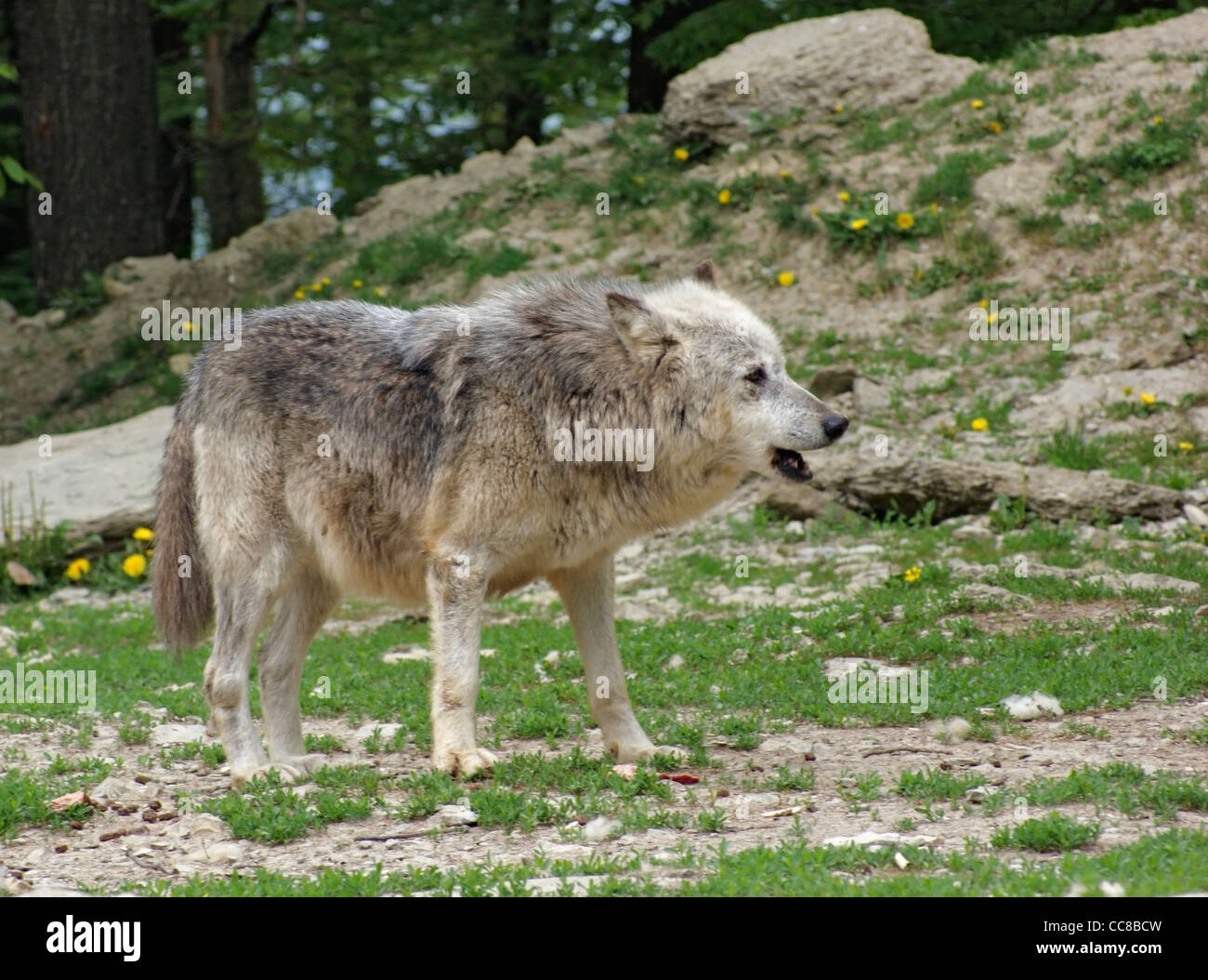 Gray Wolf in natural ambiance - Stock Image