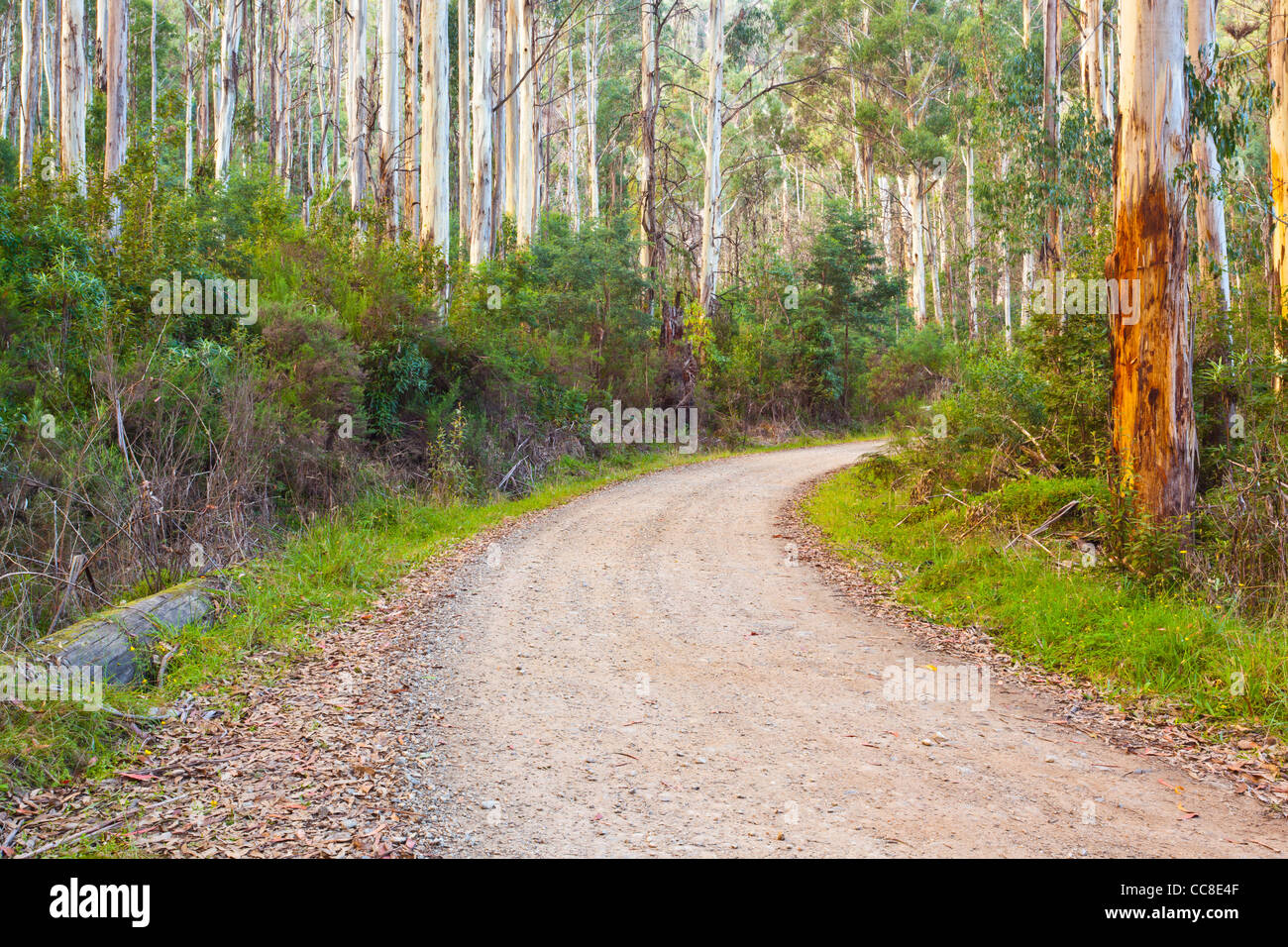 Winding road through Mountain Ash (Eucalyptus regnans) forest on Mountain Creek Road, Tawonga in north east Victoria, - Stock Image
