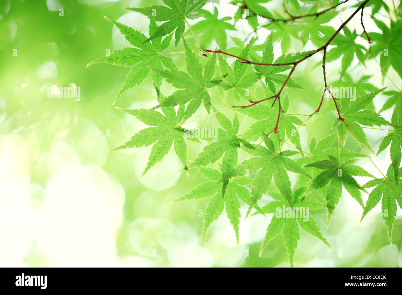 green maple leaves, shallow focus. - Stock Image