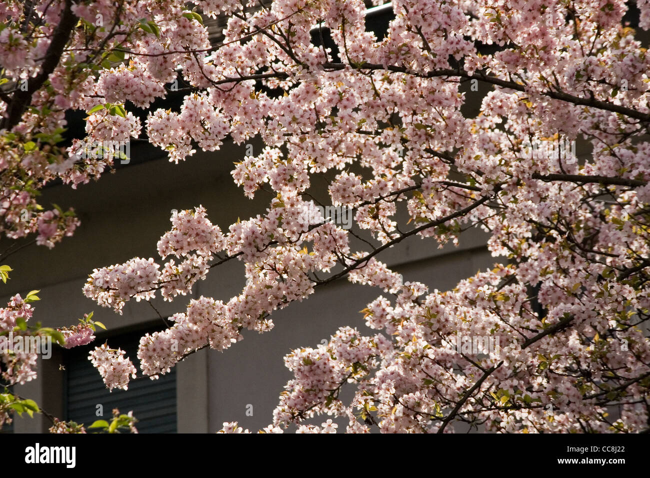 Fruit tree in blossom by the house - Stock Image