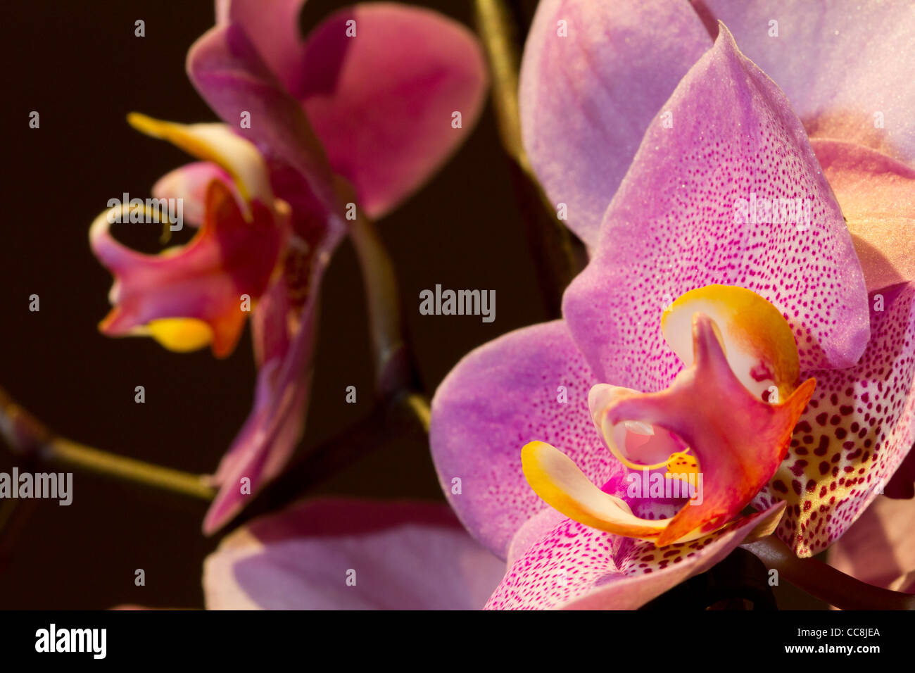 A pink Orchid or Orchidaceae - Stock Image