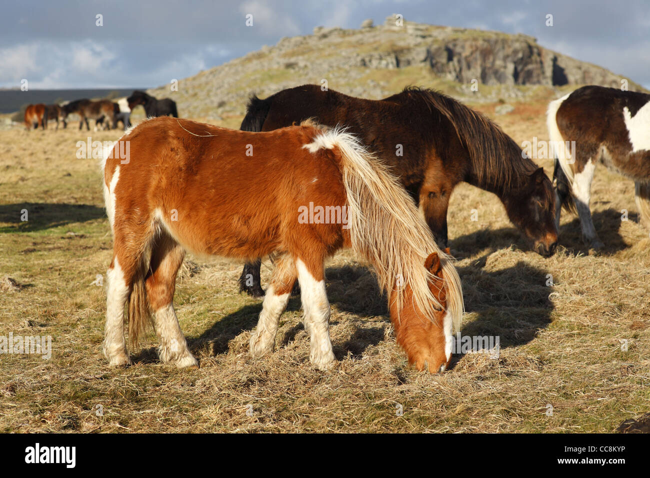 Ponies on Bodmin Moor near the Cheeswring Quarry in Cornwall, UK. Stock Photo
