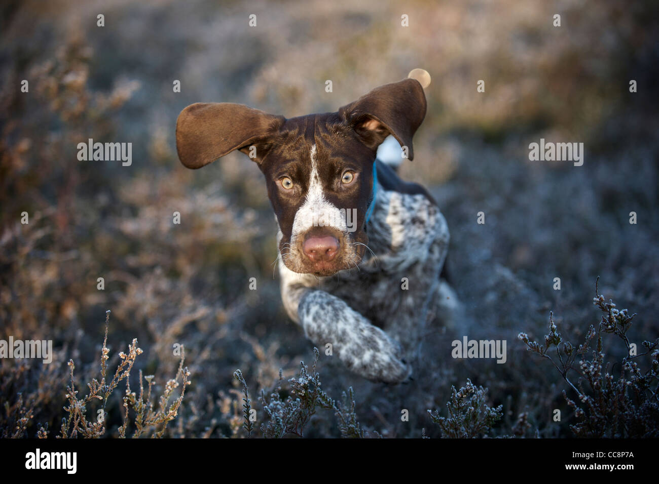 how to train a pointer puppy