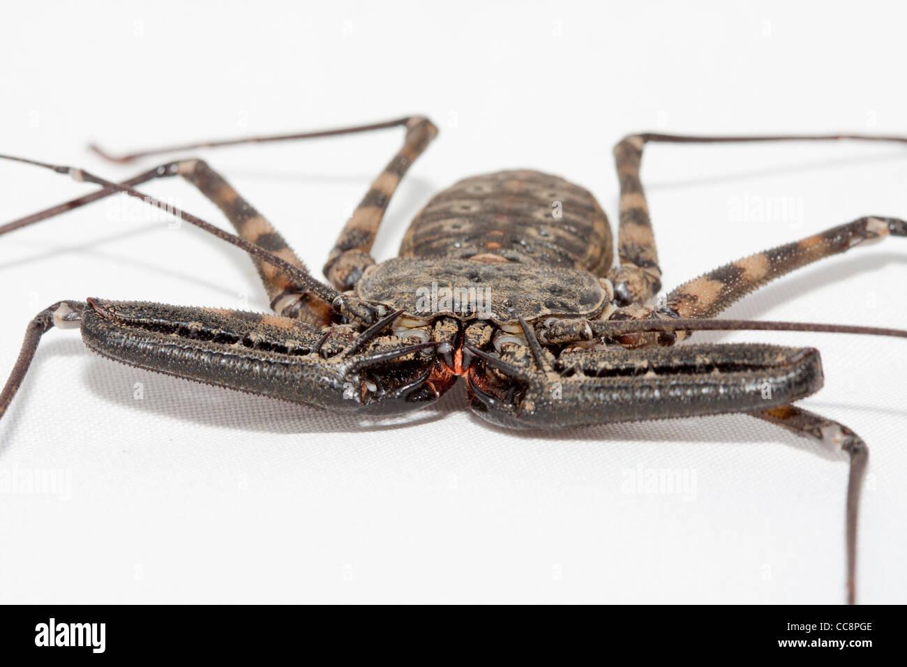 Giant Tanzanian Tail less Whip Scorpion - Stock Image