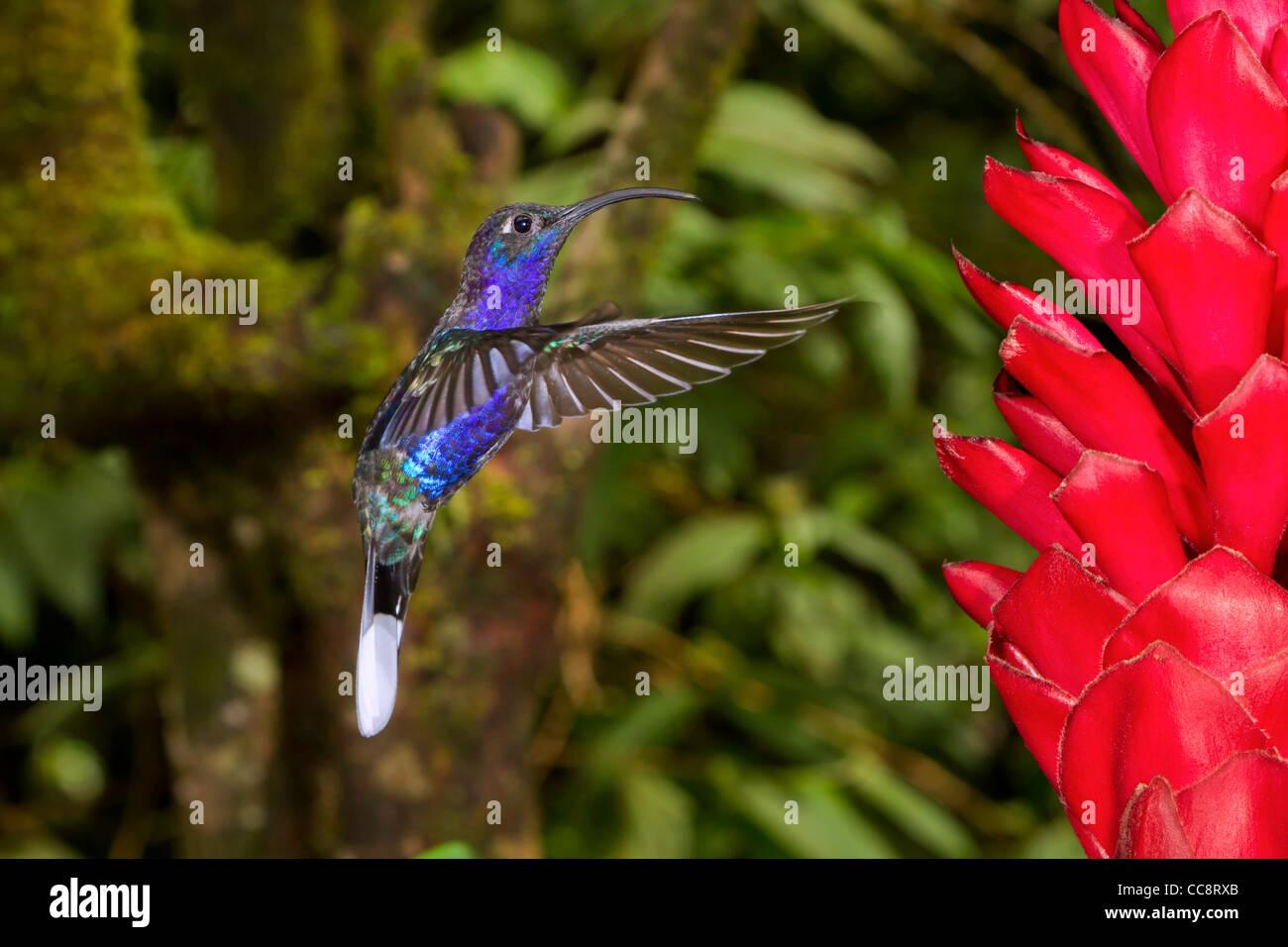Male violet sabrewing (Campylopterus hemileucurus) in Monteverde (Puntarenas, Costa Rica). Stock Photo