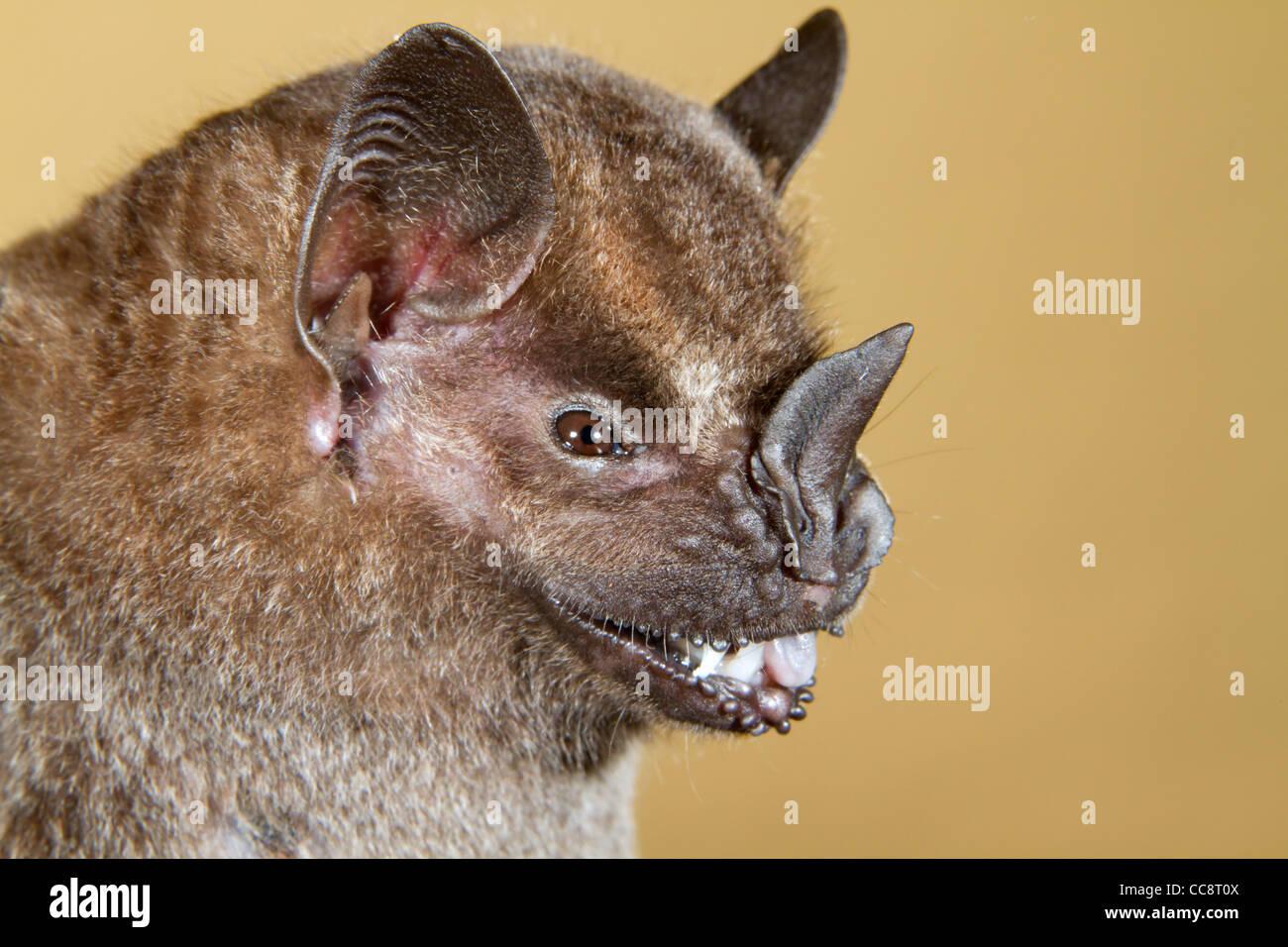 Jamaican, common or Mexican fruit bat (Artibeus jamaicensis). Stock Photo