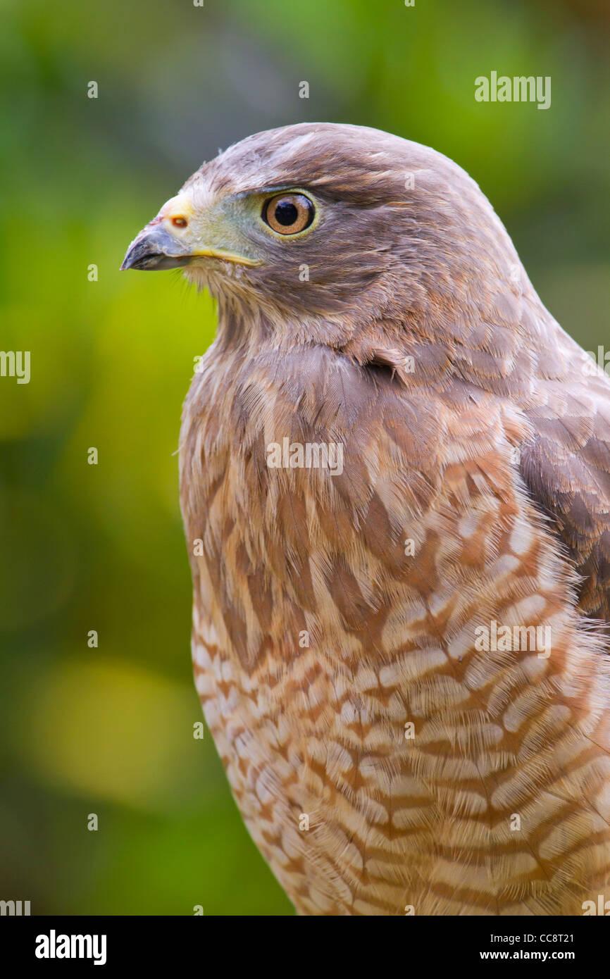 Roadside hawk (Buteo magnirostris) portrait (Puerto Viejo, Lemon, Costa Rica). - Stock Image