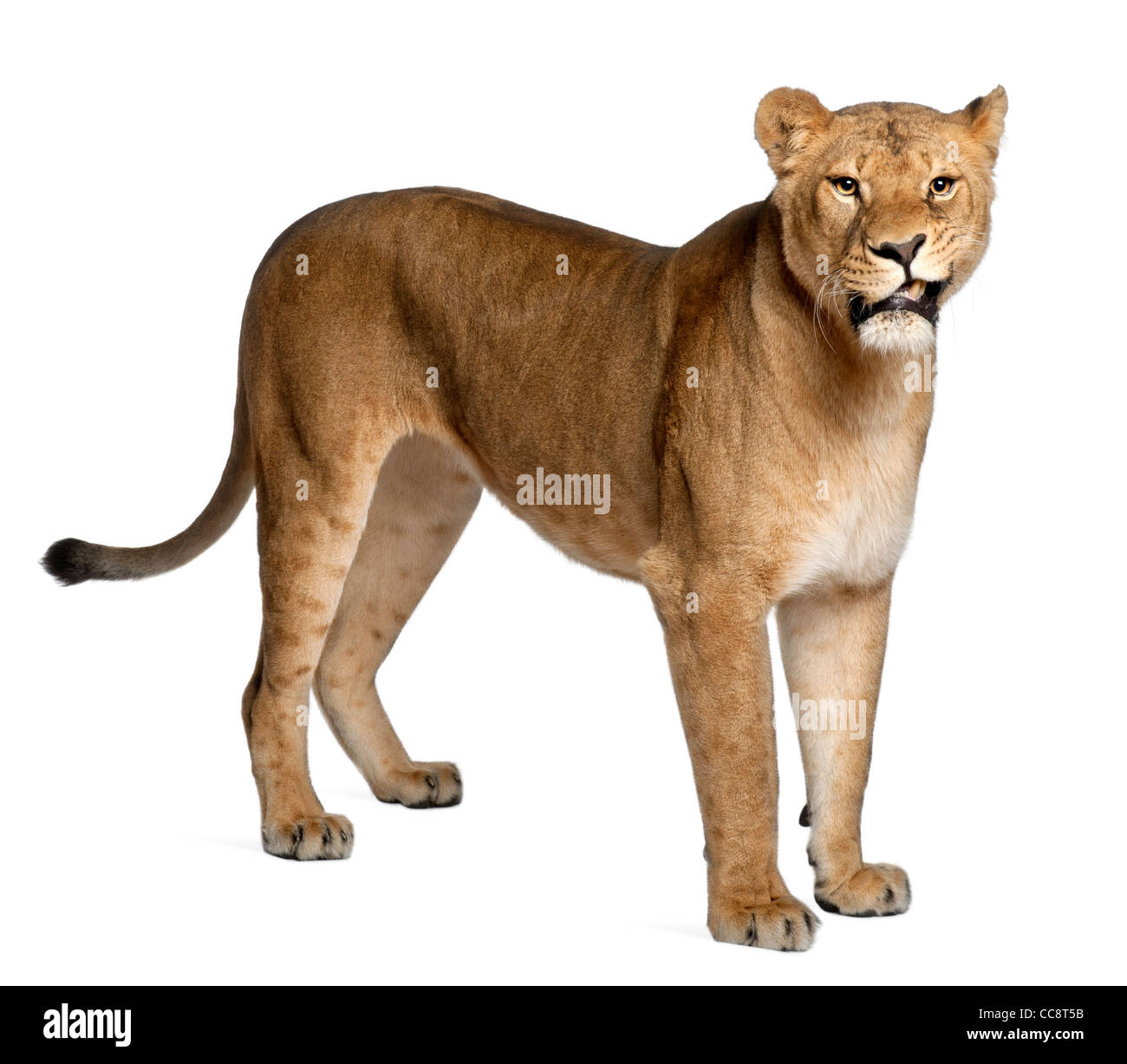 Lioness, Panthera leo, 3 years old, standing against white background Stock Photo