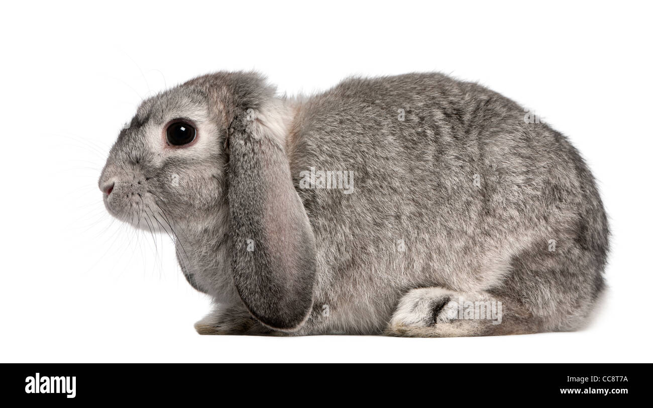 French Lop rabbit, 2 months old, Oryctolagus cuniculus, sitting in front of white background - Stock Image