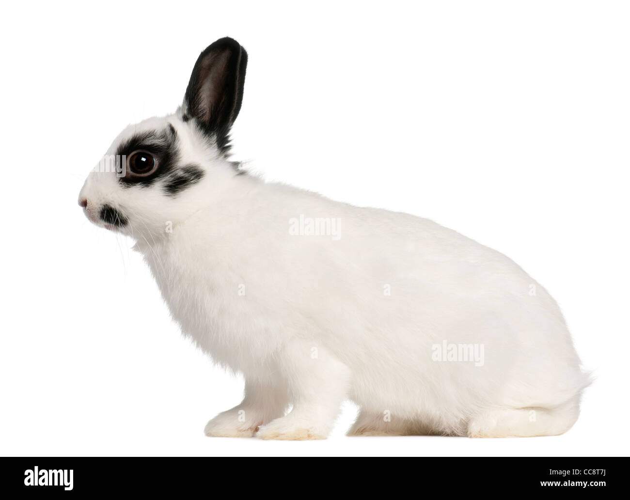 Dalmatian rabbit, 2 months old, Oryctolagus cuniculus, sitting in front of white background - Stock Image