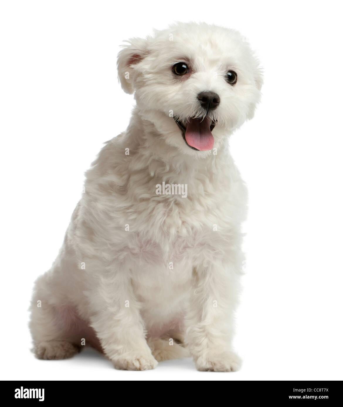 Maltese dog, 1 year old, sitting against white background - Stock Image