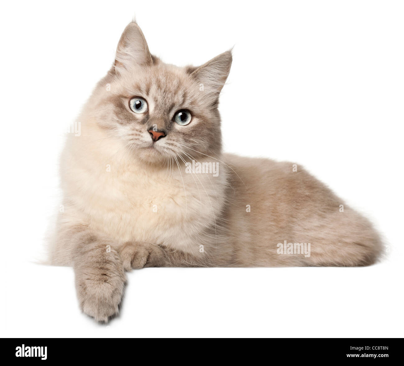 Siberian cat lying in front of white background - Stock Image